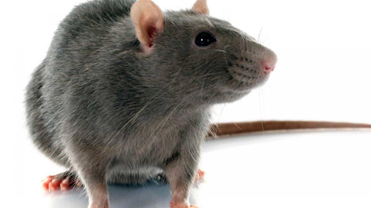 Combater ratos e baratas em casa